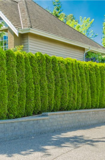 These stunning plants work hard to create outdoor privacy. These outdoor privacy plants are easy to manage, and a great addition to your yard. Try these plants for outdoor privacy!