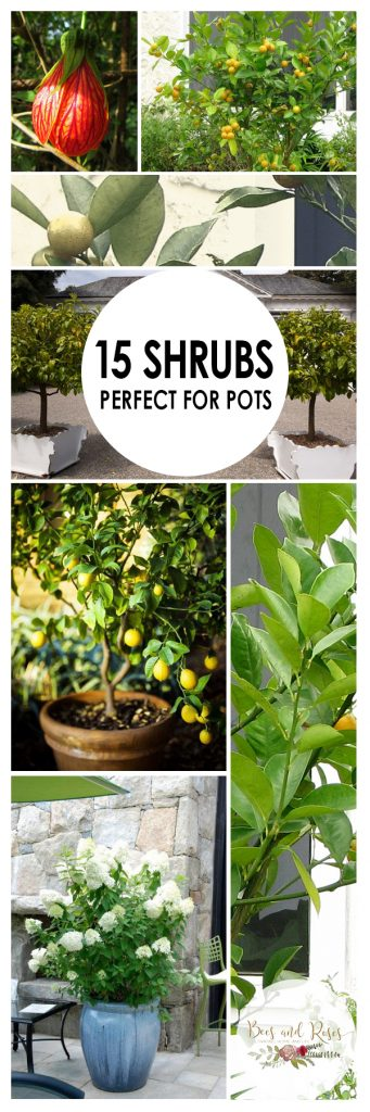 Garden Shrubs, Container Gardening, Shrubs for Container Gardening, Plants to Grow in Containers, Shrubs for Pots, Shrubs to Grow in Pots, How to Grow Shrubs, Gardening Tips and Tricks, Container Gardening Hacks, How to Container Garden, Popular Gardening Pin