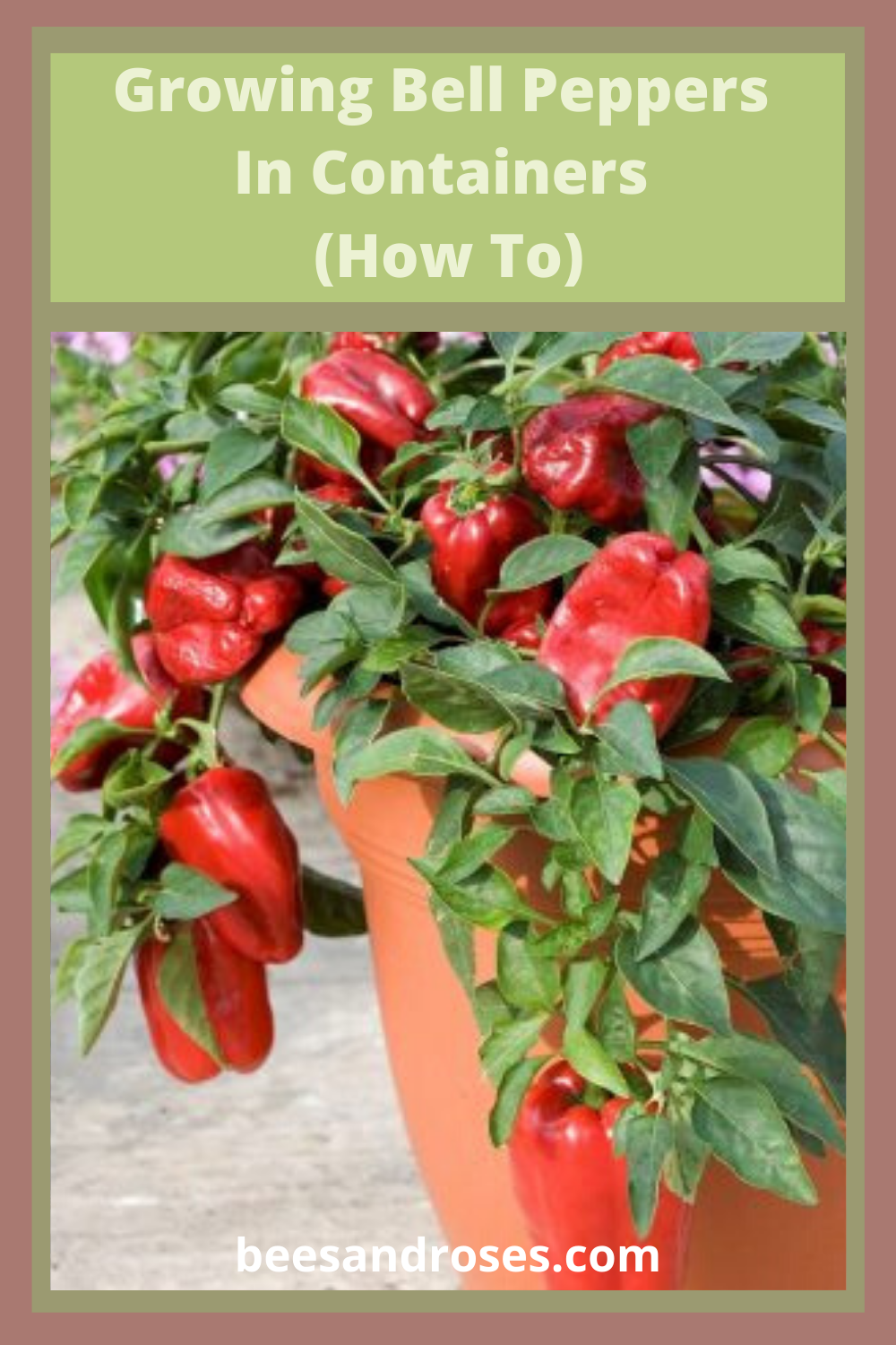 Learn how you can grow those yummy bell peppers in containers. Forget needing a big garden space. These are simple to grow and take up very little space. Pick a container, read the post and get growing. #beesandrosesblog #howtogrowbellpeppersincontainers #bellpeppers #containergardeningtips