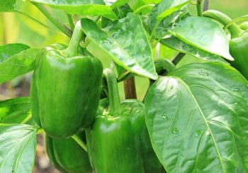 Growing Bell Peppers, Bell Peppers Container, Container Garden, Container Gardening, Gardening, Garden Ideas, Gardening TIps, Gardening Tricks, Garden