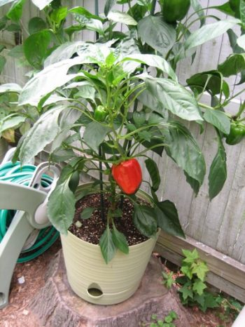 How to Grow Bell Peppers in Pots4