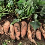 How to Grow Sweet Potatoes, Growing Sweet Potatoes, Growing Vegetables in Pots, How to Grow Vegetables in Pots, Container Gardening, Container Gardening Hacks, How to Grow Sweet Potatoes in Containers, Vegetable Gardening, Vegetable Gardening Tips.