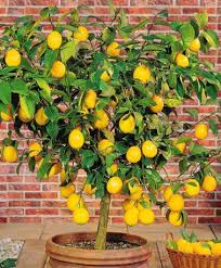 The Lazy Girl's Guide to Growing Lemons Indoors2