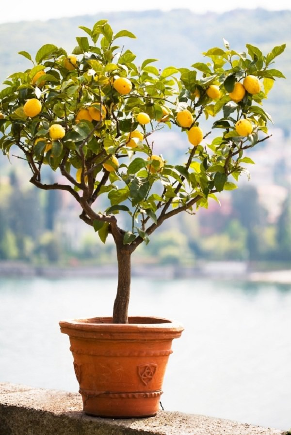 Growing Lemon Trees, How to Grow Lemon Trees, Indoor Gardening, Indoor Gardening Tips and Tricks, Fruit Tree Gardening, Fruit Tree Gardening for Beginners, Growing Fruit Indoors, How to Grow Fruit Indoors, How to Grow Lemons Indoors, Popular Gardening Pin