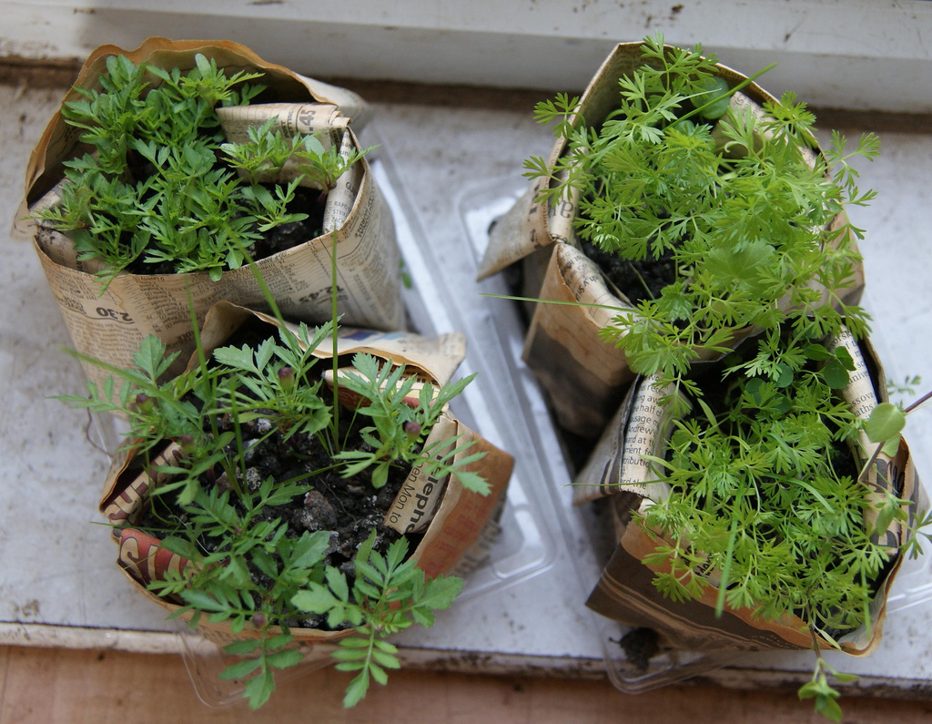 Paper Planters Perfect for Starting Seeds. Paper Planters, Gardening With Paper Planters, How to Start Seeds, Seed Starting Ideas, Cool Ideas for Starting Seeds, Gardening, Gardening Tricks, DIY Gardening, Seed Gardening, Popular Gardening Pins