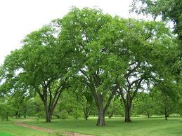 8 Trees That Will Shade Your Yard| Shade Trees, Trees to Grow, How to Grow Shade Trees, Shade Trees for Your Yard, Tree Care, Landscaping with Trees, Landscape Design, Outdoor Living, Popular Pin