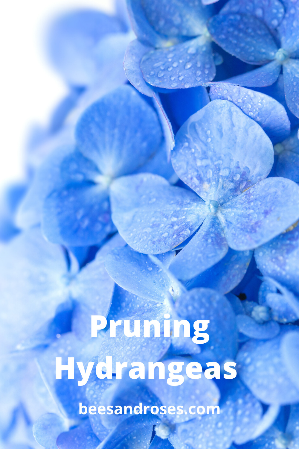 Hydrangeas have to be one of the most beautiful flowers EVER! Not just the shape and size, but the colors are breathtaking. If you want to learn how to manage them, read this post about pruning hydrangeas. Packed full of tips and tricks.#pruning #gardeningideas #hydrangeas