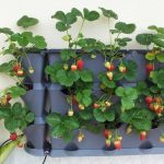 How to Grow Strawberries (Vertically!)| Strawberries, How to Grow Strawberries, Strawberry Growing Tips, Fruit Gardening, Fruit and Vegetable Gardening, Growing Strawberries Vertically, How to Grow Strawberries Vertically, Indoor Gardening
