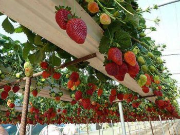 How to Grow Strawberries (Vertically!) 2