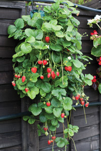 How to Grow Strawberries (Vertically!) 3