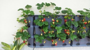 How to Grow Strawberries (Vertically!)