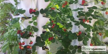 How to Grow Strawberries (Vertically!) 4