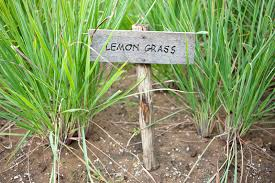 The Ultimate Guide to Everything Lemon Grass