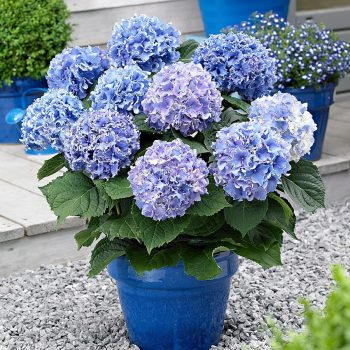 pruning hydrangeas-blue hydrangeas