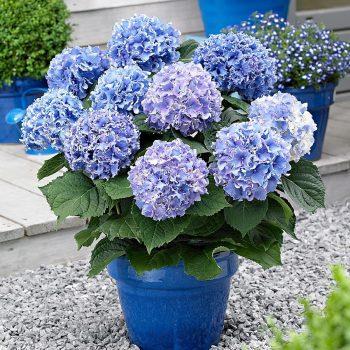 pruning hydrangeas-blue hydrangeas