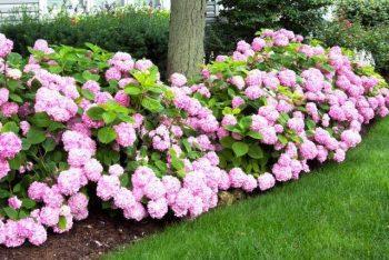 pruning hydrangeas-pink hyrdangeas
