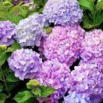 pruning hydrangeas-purple hydrangeas