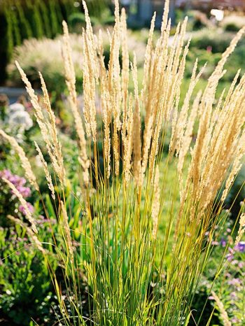 12 ornamental grasses perfect for any landscape page 2 for Easy ornamental grasses