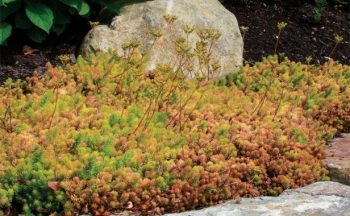 Ground Cover Plants, Tough Ground Cover Plants, Ground Cover Ideas, Ground Cover For Shade, Ground Cover Plants for SUn, Gardening, gArden Ideas, Gardening Ideas