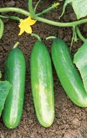 10 Tips to Growing the Best Cucumbers| How to Grow Cucumbers, Growing Cucumbers, Cucumbers, How to Grow Cucumbers, Gardening, Vegetable Gardening, Vegetable Gardening Tips and Tricks, Gardening 101, Vegetable Gardening Hacks, Popular Pin