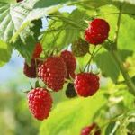 Easily Prune Your Red Raspberry Plant| How to Prune Your Red Raspberry Plant, Pruning Red Raspberry Plants, How to Prune Raspberry Plants, Easy Ways to Prune Raspberry Plants, Fruit Gardening, How to Grow Fruit, Popular Pin