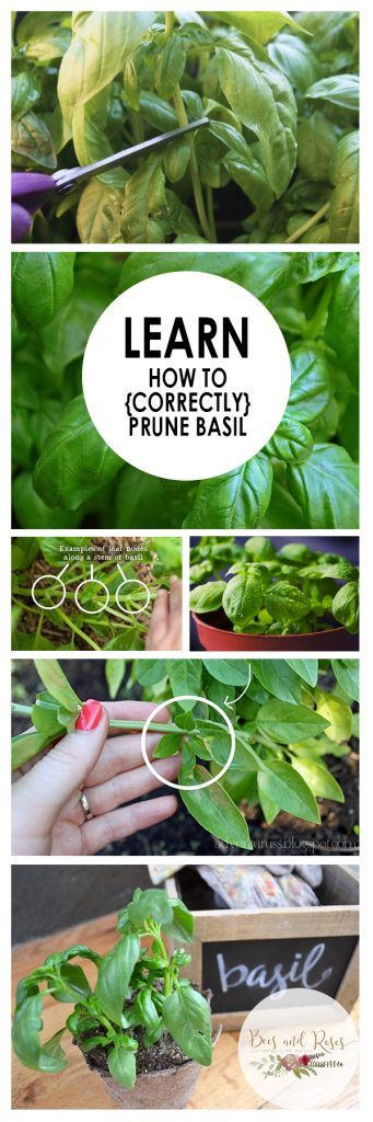 Learn How to {Correctly} Prune Basil| Prune Basil, Prune Basil Plant, Herb Garden, Herb Gardening, Gardening for Beginners, Gardening, Garden Ideas, Gardening Ideas
