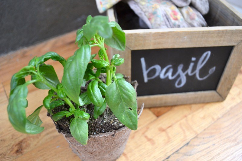 Learn How to {Correctly} Prune Basil  How to Prune Basil, Pruning Basil, Easy Ways to Prune Basil, How to Care for Basil Plants, Caring for Basil Plants, Gardening, Gardening Hacks, Gardening Tips and Tricks, Popular Pin
