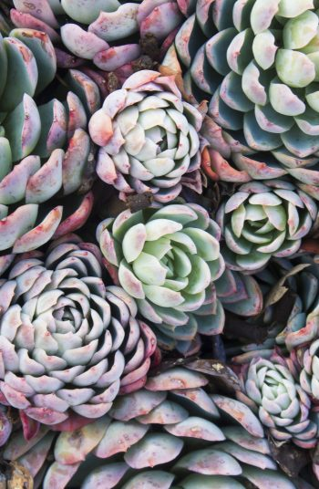Hens And Chicks-Hardy Succulents