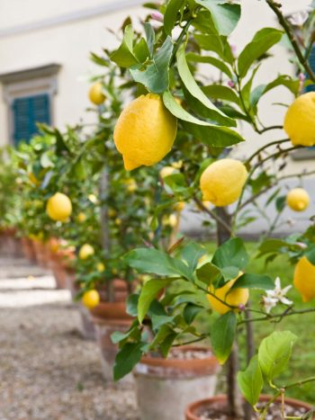 Lemon Tree is a great small landscaping tree that requires little space to grow