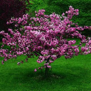 Appalachian Redbud is a great small landscaping tree