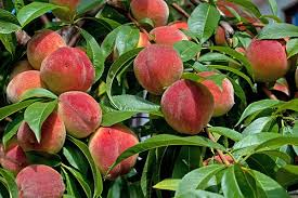 Growing Peaches, Peaches, Growing PEach Trees, Peach Trees, Growing Peaches In Pots, Container Gardening, Container Garden, Gardening, Fruit Gardening, Garden Ideas, Gardening Ideas