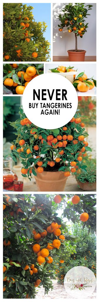 How to Grow Tangerines, Fruit Tree Gardening, Gardening Fruit Trees, Growing Tangerines, Simple Ways to Care and Grow for Tangerines, Gardening Hacks, Gardening Trees, How to Care for Fruit Trees, Popular Pin