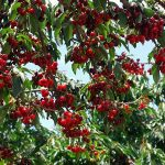GGrowing Cherry Trees, Cherry Trees, Cherry Trees Growing, Cherry Trees Fruit, Fruit Trees, Fruit Tree Care, Gardening, Gardening Ideas, Garden Ideas, Garden