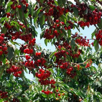 Growing Cherry Trees, Cherry Trees, Cherry Trees Growing, Cherry Trees Fruit, Fruit Trees, Fruit Tree Care, Gardening, Gardening Ideas, Garden Ideas, Garden