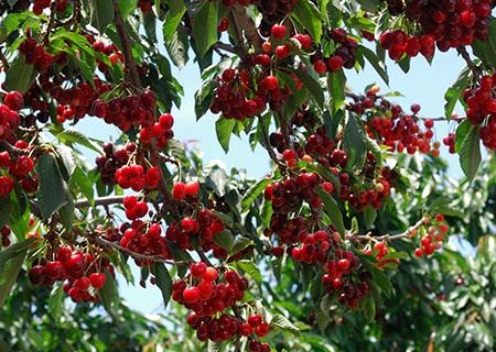 Growing Cherry Trees, How to Grow Cherry Trees, Fruit Tree Gardening, How to Grow Fruit Trees, Growing Fruit Trees, Grow Your Own Cherry Trees, Popular Pin