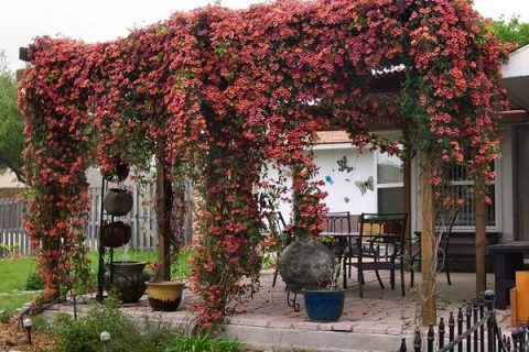 Climbing Plants, Climbing Plants for Pergolas, Easy to Grow Climbing Plants, Gardening, Gardening Tips and Tricks, Plants for Pergolas, Climbing Plant Care Tips