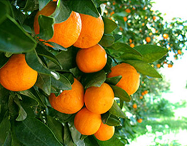 How to Grow Tangerines, Fruit Tree Gardening, Gardening Fruit Trees, Growing Tangerines, Simple Ways to Care and Grow for Tangerines, Gardening Hacks, Gardening Trees, How to Care for Fruit Trees, Popular Pin