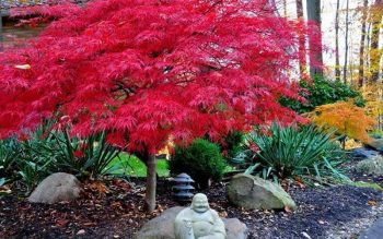 A stunning red Japanese Maple tree. Dense leaves and short height make this a great small tree for lanscaping