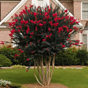 The Crape Myrtle trees is a stunning small landscaping tree