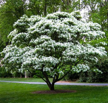 Small landscaping trees. a smaller tree with white blossoms.