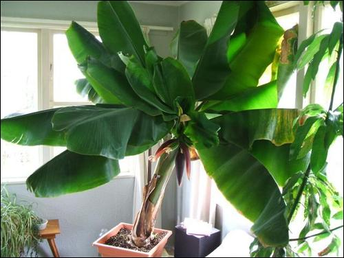 How to Grow Bananas Indoors This Winter!  Growing Bananas Indoors, How to Grow Bananas, Indoor Gardening, Indoor Gardening Tips and Tricks, Grow Bananas In the Winter, Gardening, Plant Care, Tree Care and Tips, Popular Pin
