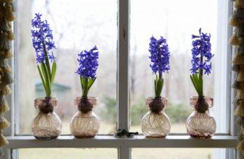 Force Bulbs, Force Bulb Indoors, Force Bulbs In Water, Force Bulbs Indoors Water, Indoor Garden, Indoor Gardening, Gardening, Garden Ideas, Gardening Tricks
