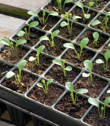 Seeds Sprout, Seeds Sprouting, Indoor Garden, Indoor Gardening, Indoor Gardening DIY, Indoor Gardening Vegetable, garden ideas, gardening, gardening tips