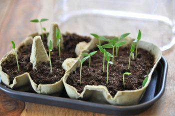 Junge Paprikapflanzen in einer Anzuchtschale