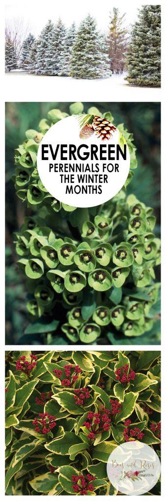 Evergreen Perennials for the Winter Months  Evergreens, Evergreen Perennials, Perennial Evergreens, Gardening, Winter Gardening, Winter Gardening Tips and Tricks, Evergreen Gardening, Popular Pin #WinterGardening #Perennials #EvergreenPerennials #Gardening