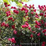 Prepare Your Roses for Winter: 8 Tips and Tricks - Bees and Roses| Rose Garden, Gardening, Winter Garden, Winter Gardening Prep, Gardening, Gardening Hacks, Winter Gardening, Winter Gardening Hacks, Winter Garden Prep #Gardening #WinterGardening #WinterRoseCare