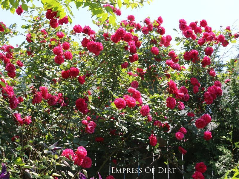 Prepare Your Roses for Winter: 8 Tips and Tricks - Bees and Roses  Rose Garden, Gardening, Winter Garden, Winter Gardening Prep, Gardening, Gardening Hacks, Winter Gardening, Winter Gardening Hacks, Winter Garden Prep #Gardening #WinterGardening #WinterRoseCare