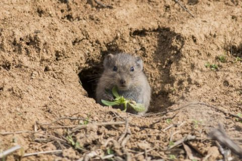 How to Catch a Vole| Garden Pest Control, Pest Control, Yard Pest Control, Natural Pest Control,Gardening, Gardening Tips and Tricks, Natural Gardening Tips #NaturalPestControl #PestControl #GetRidofVoles #GardenPestControl
