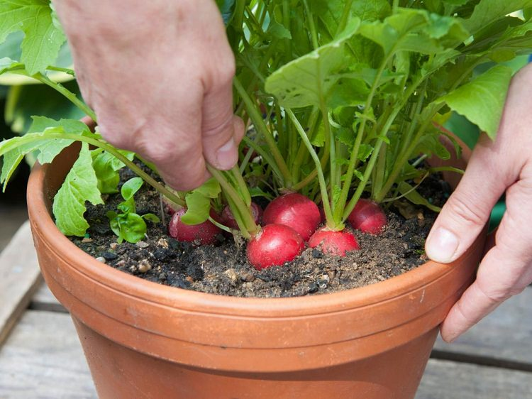 10 Veggies for a Windowsill Garden - Bees and Roses| Vegetable Gardening, Gardening, Gardening Tips and Tricks, Indoor Gardening, Indoor Gardening Tips and Tricks, Popular Pin #IndoorGardening #Gardening
