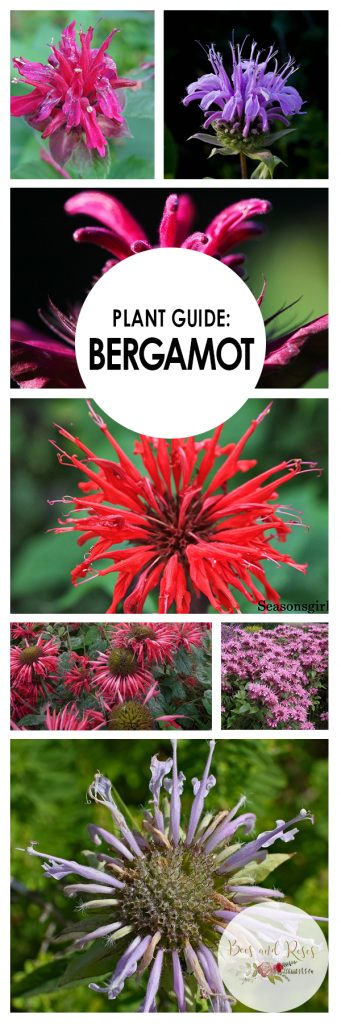 Plant Guide: Bergamot| Growing Bergamot, How to Grow Bergamot, Plant Care Tips and Tricks, Gardening, Gardening Hacks, Gardening Tips and Tricks, Perennial Gardening, Perennial Plant Care, Popular Pin #Gardening #Bergamot #Perennials
